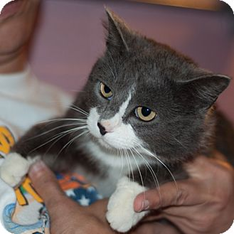 Domestic Shorthair Cat for adoption in New Martinsville, West Virginia - Bret