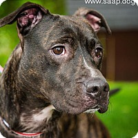 Pit Bull Terrier Mix Dog for adoption in Newport, Kentucky - Inca