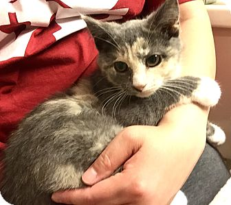 Domestic Shorthair Kitten for adoption in Southington, Connecticut - Mabel