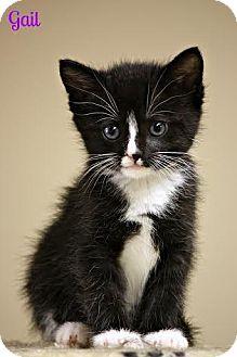 Domestic Mediumhair Kitten for adoption in Cedar Rapids, Iowa - Gail