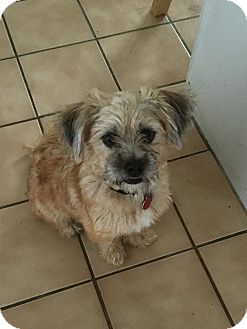 Yorkie, Yorkshire Terrier/Terrier (Unknown Type, Small) Mix Dog for adoption in Sterling Heights, Michigan - Goldielocks