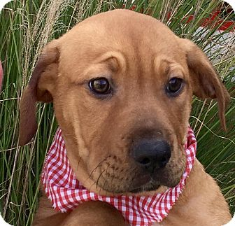 Australian Cattle Dog Mix Puppy for adoption in Evansville, Indiana - Chimichanga