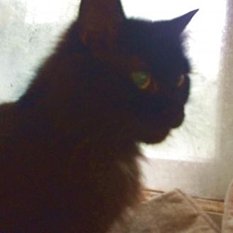 Domestic Mediumhair Cat for adoption in Montreal, Quebec - Miss Mini