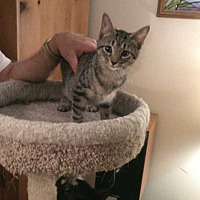 Domestic Shorthair Cat for adoption in Fayetteville, Tennessee - Sweetpea