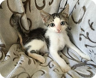 Domestic Shorthair Kitten for adoption in Tampa, Florida - Sparta
