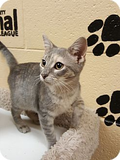 Domestic Shorthair Cat for adoption in Smithfield, North Carolina - Rey