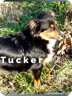 Australian Shepherd Dog for adoption in Dallas, Texas - Tucker