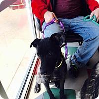 Adopt A Pet :: Jacque - ST LOUIS, MO