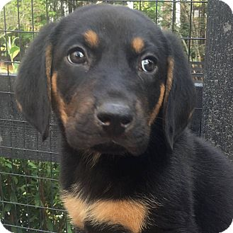 Labrador Retriever/Black and Tan Coonhound Mix Puppy for adoption in CUMMING, Georgia - Lincoln