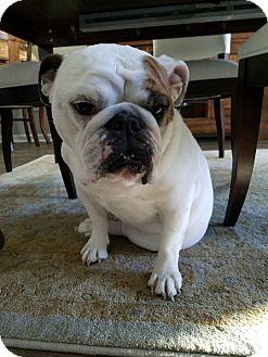 English Bulldog Dog for adoption in Awendaw, South Carolina - Lucy