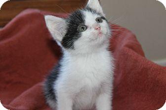 Domestic Shorthair Kitten for adoption in Naperville, Illinois - Amber