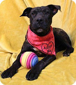 Labrador Retriever/American Bulldog Mix Dog for adoption in Hot Springs Village, Arkansas - Rigsby