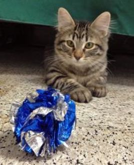 Maine Coon/Domestic Shorthair Mix Cat for adoption in Chandler, Arizona - Jelly Belly