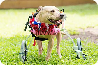 American Pit Bull Terrier Dog for adoption in Spring, Texas - Angel