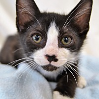 Adopt A Pet :: Tyrion - Michigan City, IN