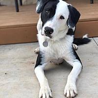 Adopt A Pet :: Bash - Allen, TX