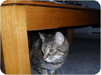 Domestic Mediumhair Cat for adoption in Rosemount, Minnesota - Rascal