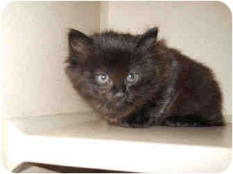 Domestic Mediumhair Kitten for adoption in San Clemente, California - SUGAR