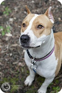 American Pit Bull Terrier Dog for adoption in Portland, Oregon - Lucy (foster)