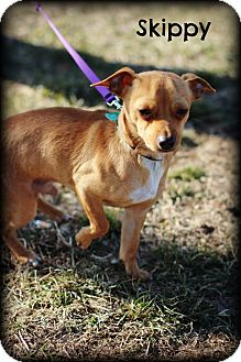 Chihuahua/Dachshund Mix Dog for adoption in mishawaka, Indiana - Skippy