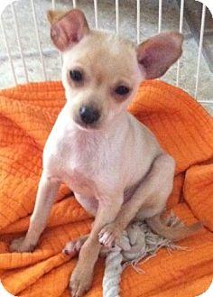 Chihuahua/Miniature Schnauzer Mix Puppy for adoption in Bridgewater, New Jersey - Marcie