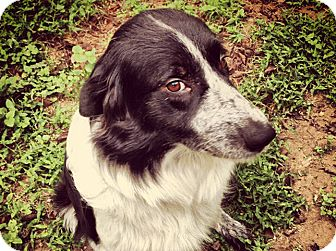 Border Collie/Great Pyrenees Mix Dog for adoption in Austin, Texas - Callie