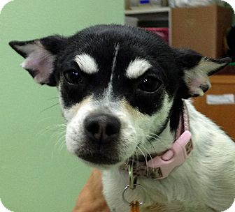 Chihuahua Mix Dog for adoption in Thousand Palms, California - Abby