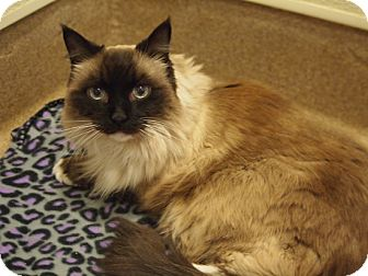 Ragdoll Cat for adoption in Coronado, California - Cutie