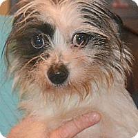 Adopt A Pet :: Starlight - Greensboro, NC