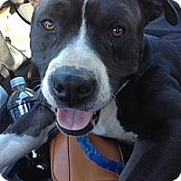 Adopt A Pet :: Blaine - Santa Monica, CA