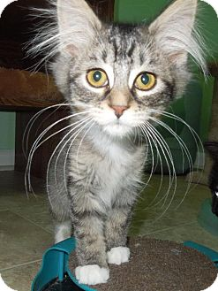 Domestic Mediumhair Kitten for adoption in HILLSBORO, Oregon - Crackle