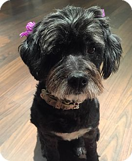 Schnauzer (Miniature)/Poodle (Miniature) Mix Dog for adoption in Encino, California - Twinkle