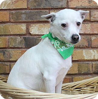 Jack Russell Terrier/Terrier (Unknown Type, Small) Mix Dog for adoption in Benbrook, Texas - Momo