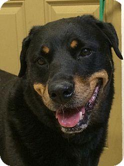 Rottweiler Dog for adoption in hawthorne, Florida - Smokey