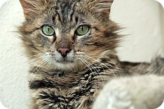 Maine Coon Cat for adoption in St. Louis, Missouri - Jason Heyward