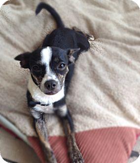 Chihuahua Mix Puppy for adoption in Covington, Washington - Tia