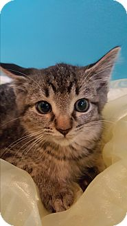 Domestic Shorthair Kitten for adoption in Oakland, Michigan - Muffin