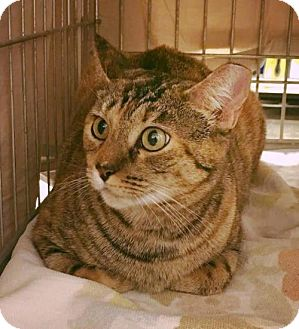 Ocicat Cat for adoption in Phoenix, Arizona - Molly