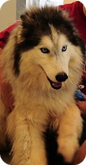 Siberian Husky/Alaskan Malamute Mix Dog for adoption in Memphis, Tennessee - CLEO' NEEDS FOSTER