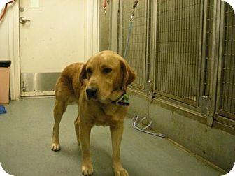 Labrador Retriever Mix Dog for adoption in Olympia, Washington - 47448