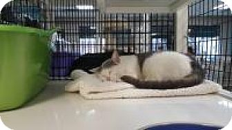 Domestic Shorthair Cat for adoption in La Grange Park, Illinois - Minuet