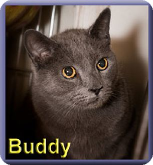 Domestic Shorthair Cat for adoption in Aldie, Virginia - Buddy