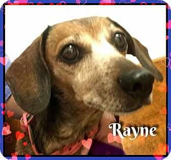 Dachshund Dog for adoption in Green Cove Springs, Florida - Rayne