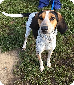 Coonhound/Beagle Mix Dog for adoption in Avon, Ohio - Lima Bean