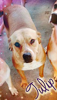 American Bulldog Mix Dog for adoption in Odessa, Texas - Tulip
