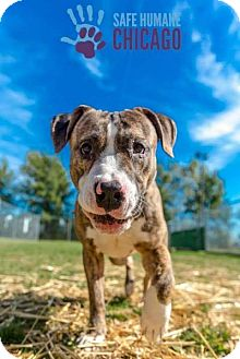Staffordshire Bull Terrier/Great Dane Mix Dog for adoption in Villa Park, Illinois - Bentley