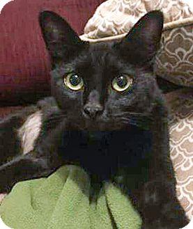 Domestic Shorthair Cat for adoption in Arlington, Texas - Bobbi