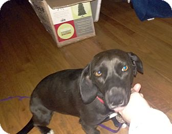 Dachshund Mix Dog for adoption in Columbus, Ohio - Doxie