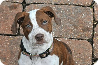 Pointer Mix Puppy for adoption in Pittsburgh, Pennsylvania - Pippa