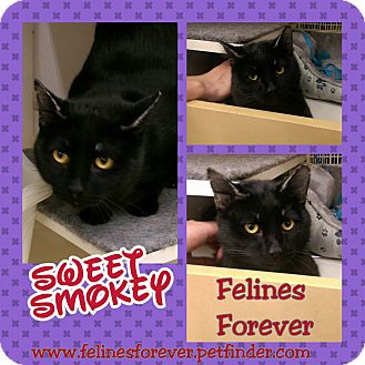 Domestic Shorthair Cat for adoption in Bridgeton, Missouri - Smokey-House Fire Victim!!!